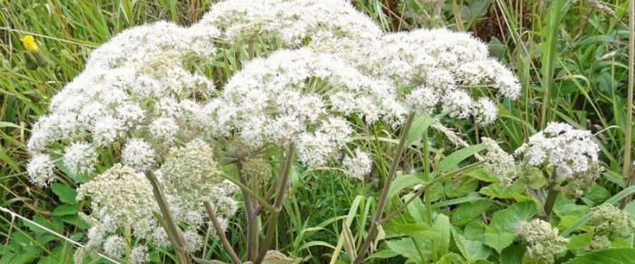 Angelica Sinensis Plant with Flower
