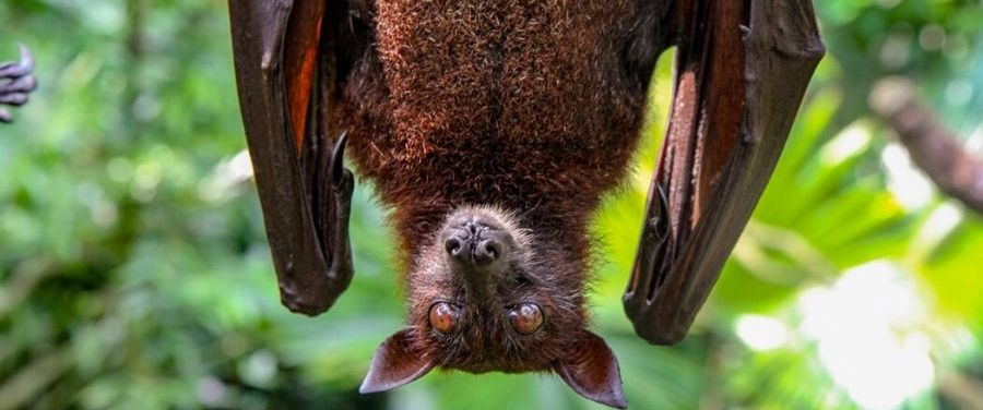Nipah Virus Infection Origin