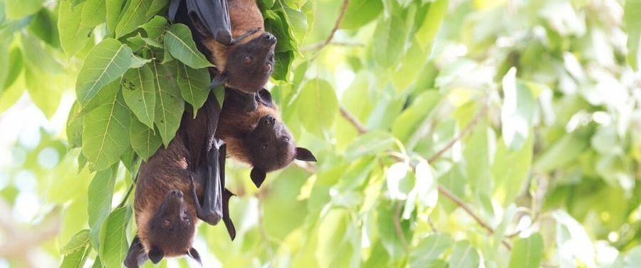 Prevention Tips Of Nipah Virus