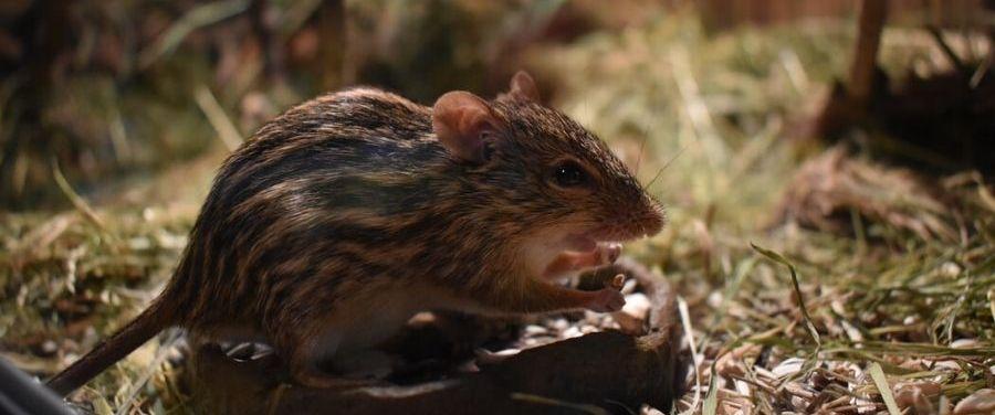 hantavirus and rodents
