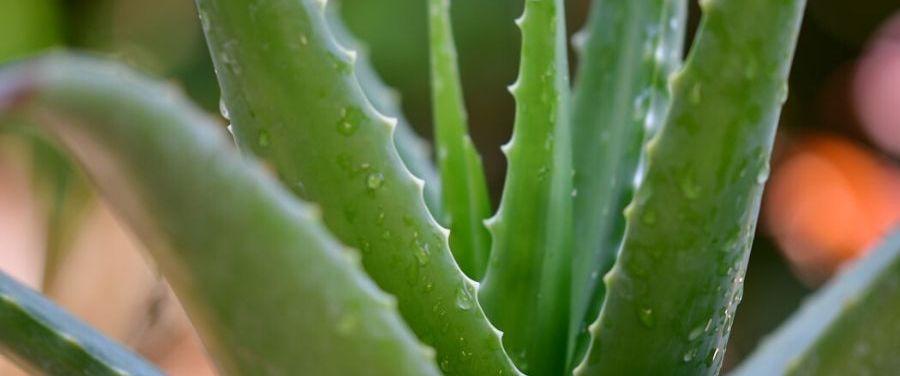 Aloe-Vera-for-Oily-Skin