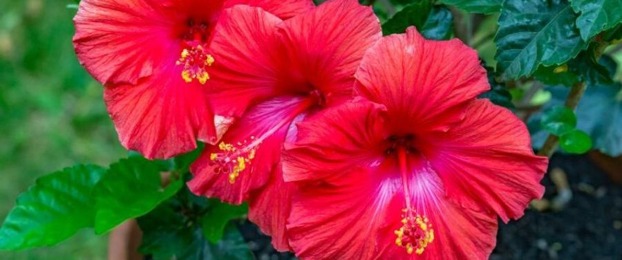 Hibiscus Flowers with Leaves