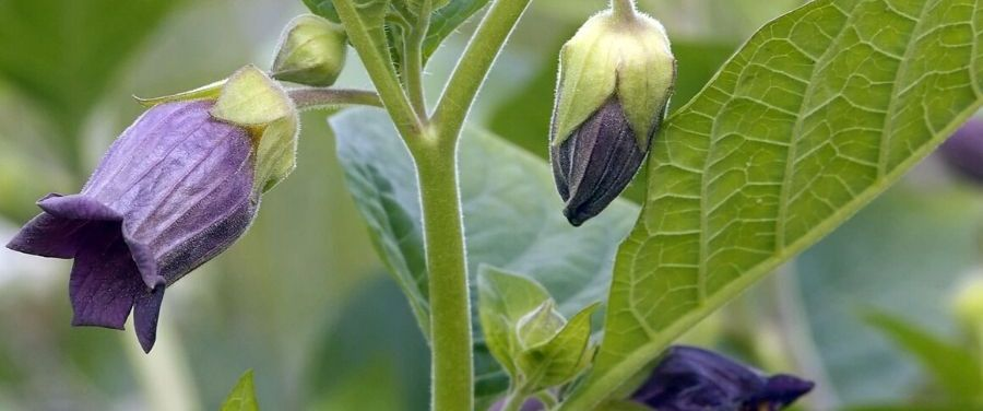 Deadly Nightshade Belladonna Flowers