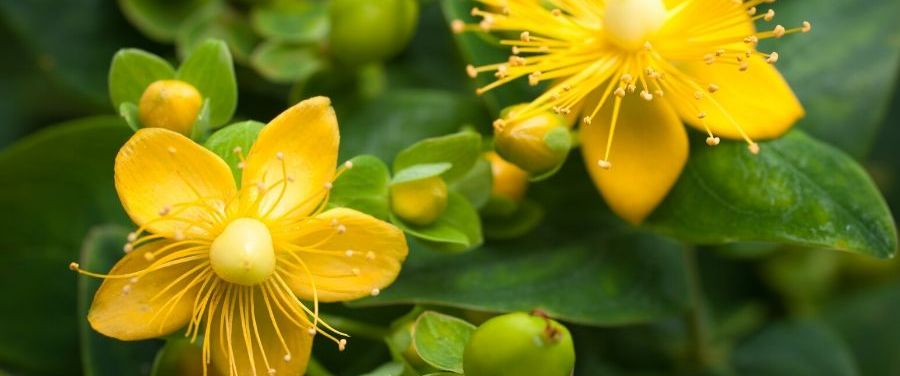 ST. JOHN'S WORT PLANT WITH FLOWERS