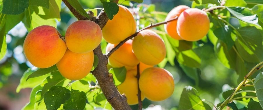 Fresh Apricots on The Tree