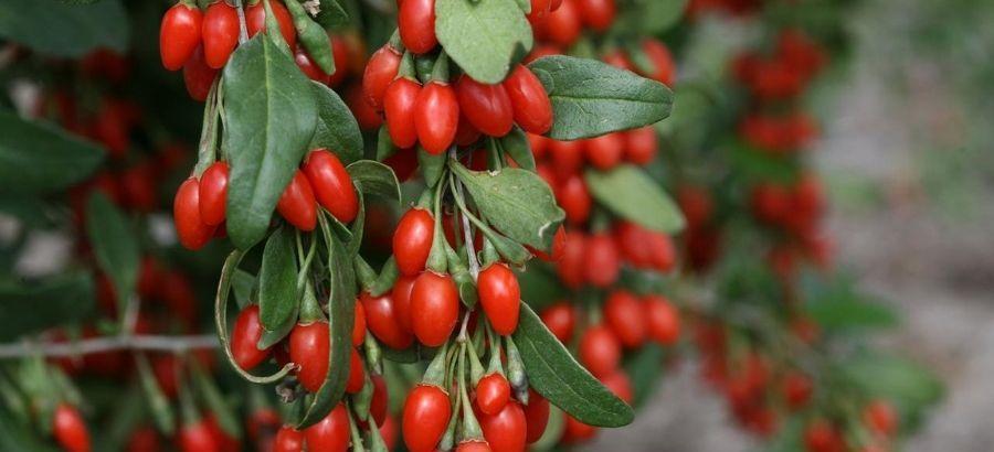 Goji Berry Tree with Fruits