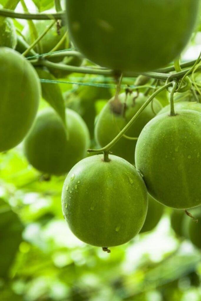 Fresh-Monk-Fruits