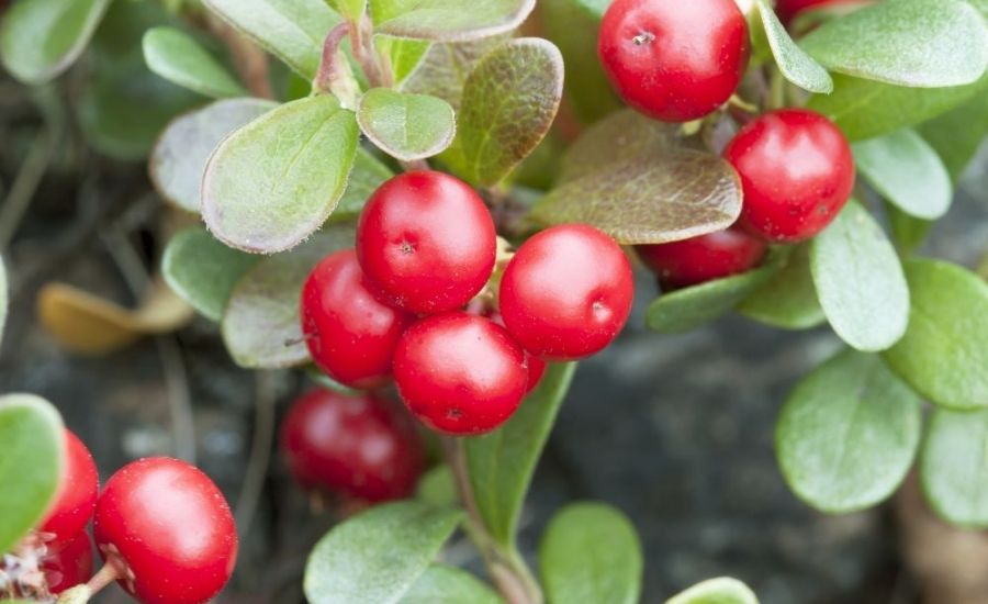 Uva Ursi (bearberry) to Treat Urinary Tract Infection