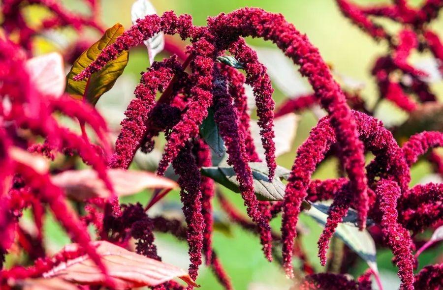 Red Amaranth Plant