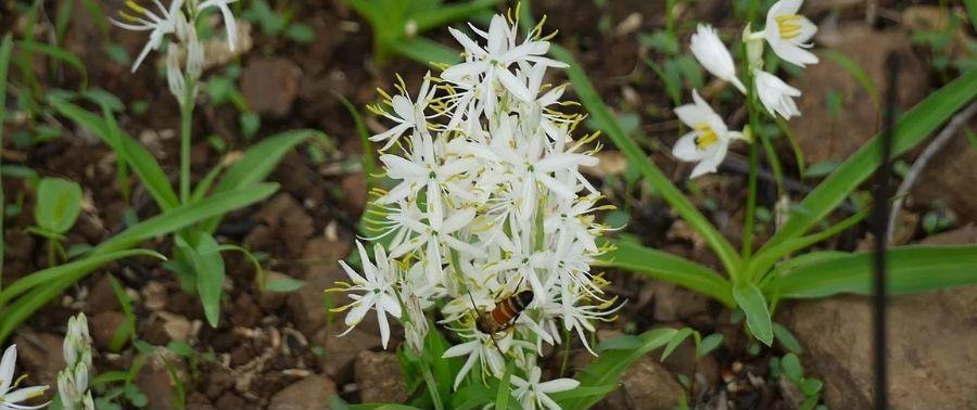 Safed Musli (Chlorophytum Borivilianum): Benefits, Uses, Dosage, Precautions and Side-Effects