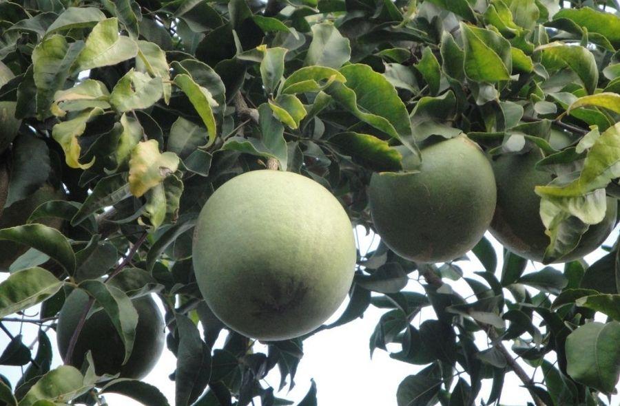 Bael Fruit (Wood Apple) Tree