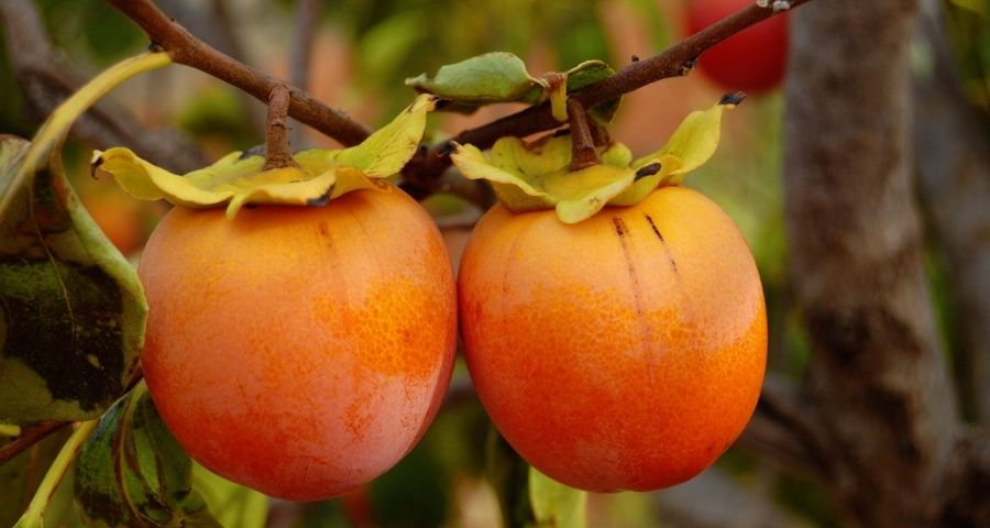 Persimmon Tree with Fruits