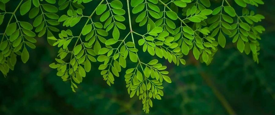Moringa (Drumstick): Benefits, Nutrition, Side Effects and How to Use